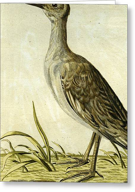 Small American Snipe Greeting Card by John Latham