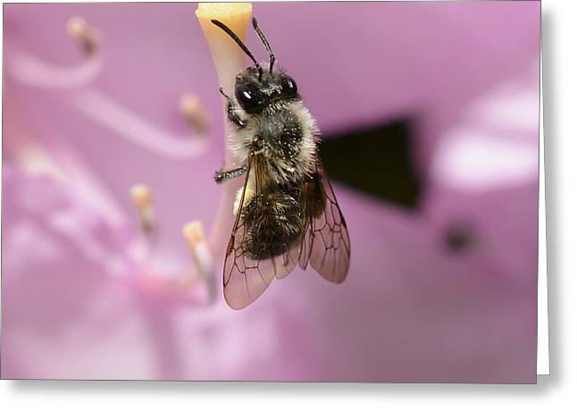Stigma Greeting Cards - Small Bee on Rhododendron Pistil Greeting Card by Marv Vandehey