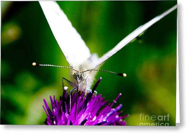 Nature Scene Greeting Cards - Small  White Cabbage Butterfly Pieris rapae Greeting Card by Chris Smith