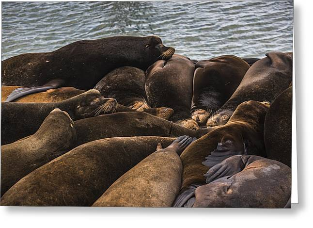 California Sea Lions Greeting Cards - Smelt Dreams Greeting Card by Robert Potts