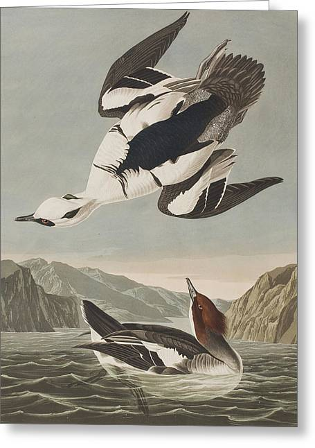Flying Bird Drawings Greeting Cards - Smew or White Nun Greeting Card by John James Audubon