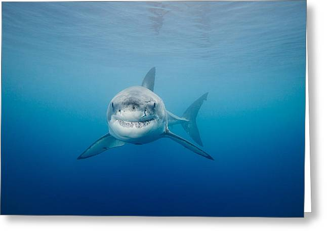White Shark Photographs Greeting Cards - Smiling Great White Shark Greeting Card by Dave Fleetham - Printscapes