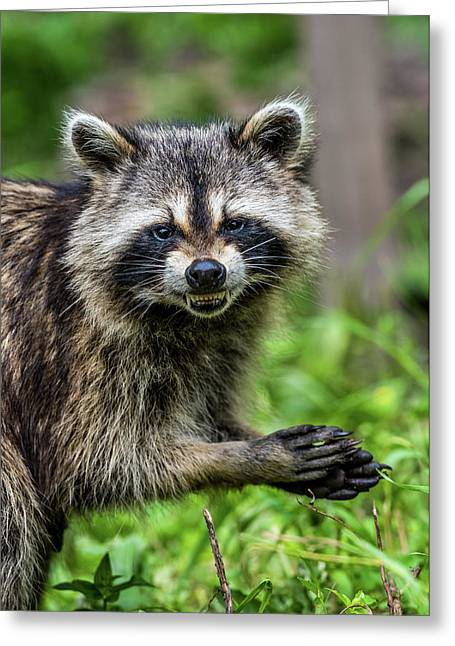 Smiling Raccoon Greeting Card by Paul Freidlund