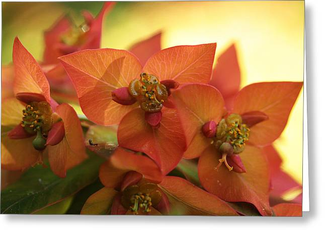 Euphorbia Greeting Cards - Smouldering Embers Greeting Card by Connie Handscomb