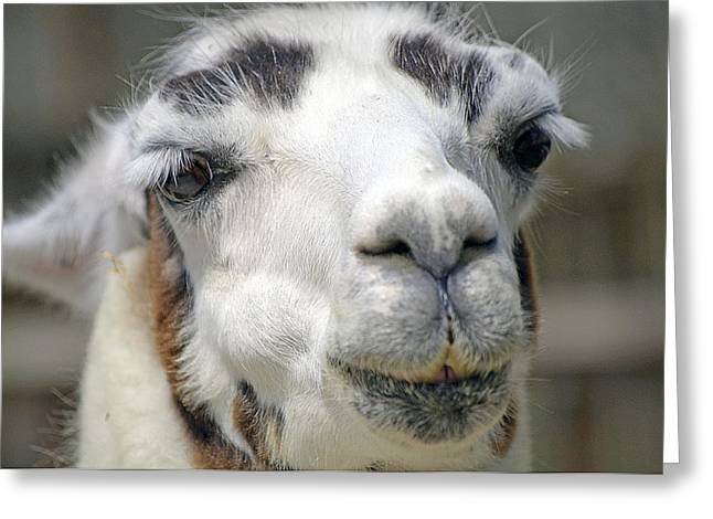 Llama Photographs Greeting Cards - Smug Llama Greeting Card by Kenneth Albin