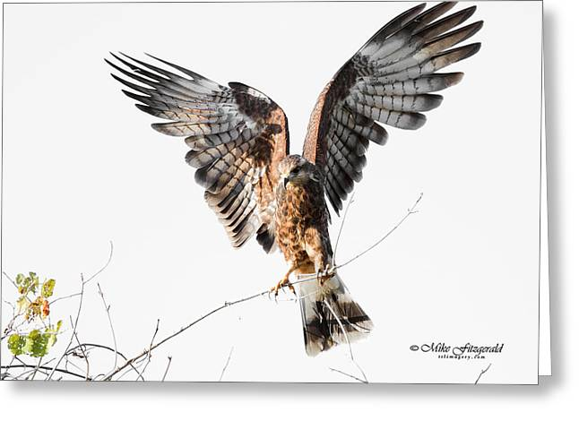 Kite Greeting Cards - Snail Kite Exposed Greeting Card by Mike Fitzgerald