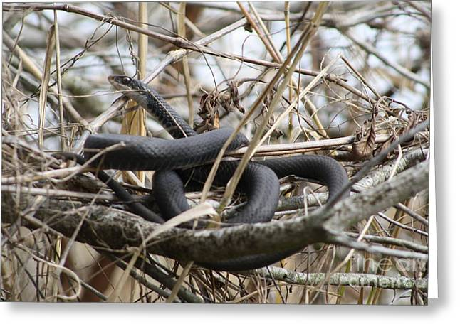 Wild Racers Greeting Cards - Snake in a tree Greeting Card by Maria Young