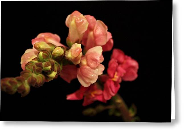 Snapdragons Greeting Cards - Snapdragon Greeting Card by Cathie Tyler