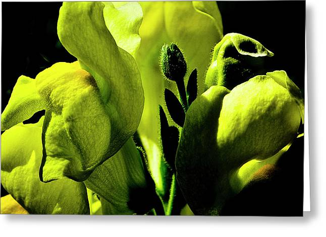 Snapdragons Greeting Cards - Snapdragon Greeting Card by David Patterson