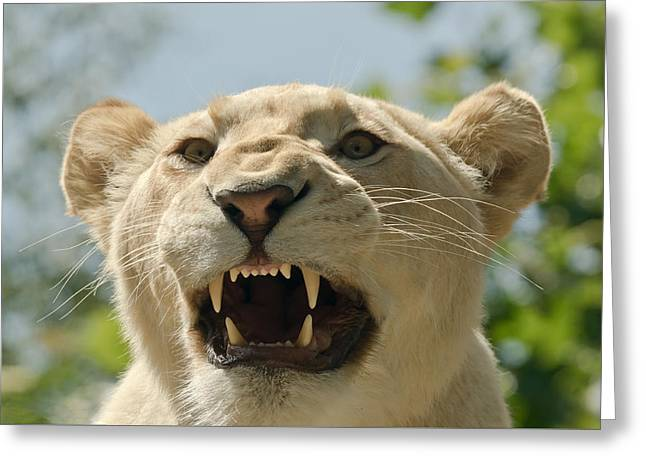 Lioness Greeting Cards - Snarling Lion Greeting Card by Scott Carruthers