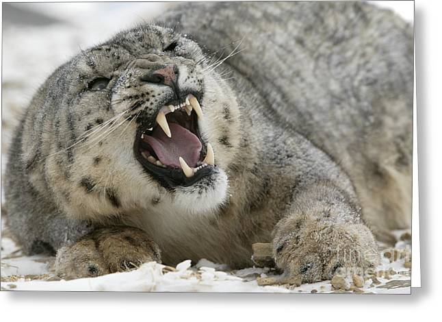 Growling Greeting Cards - Snarling Snow Leopard Greeting Card by Jean-Louis Klein & Marie-Luce Hubert