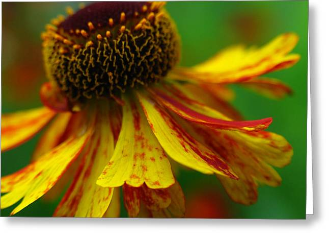 Sneezeweed Greeting Cards - Sneezeweed Greeting Card by Juergen Roth