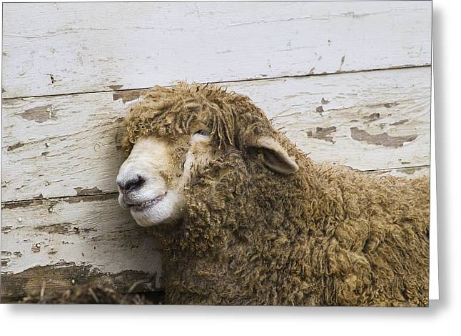 Recently Sold -  - Maine Farms Greeting Cards - Snickering Sheep Greeting Card by Chuck Homler