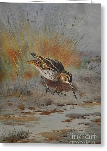 1907 Greeting Cards - Snipe  Greeting Card by MotionAge Designs
