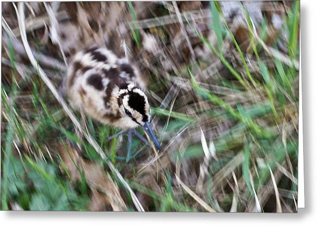 West Fork Greeting Cards - Snipe on the Run Greeting Card by Douglas Barnett
