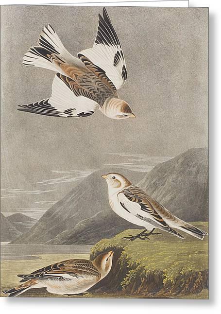Swoop Greeting Cards - Snow Bunting Greeting Card by John James Audubon