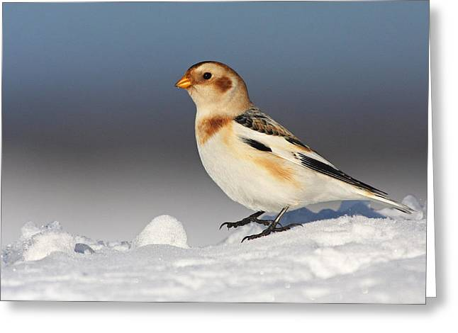 White Birds Greeting Cards - Snow Bunting (plectrophenax Nivalis) Greeting Card by Mircea Costina