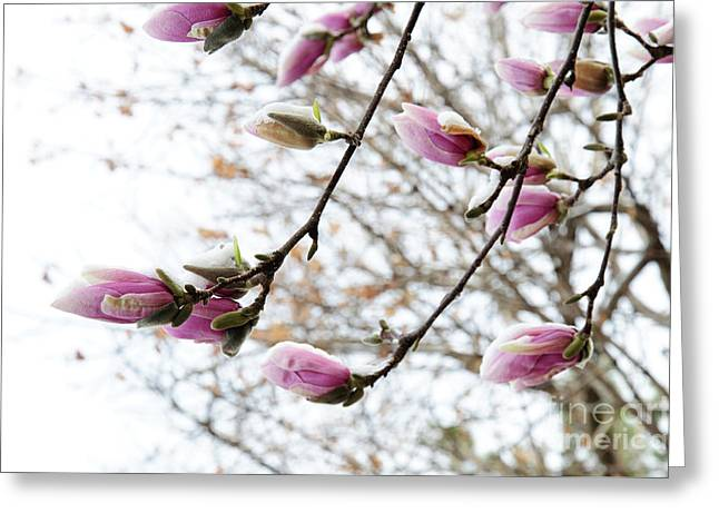 Snow Capped Greeting Cards - Snow Capped Magnolia Tree blossoms 2 Greeting Card by Andee Design