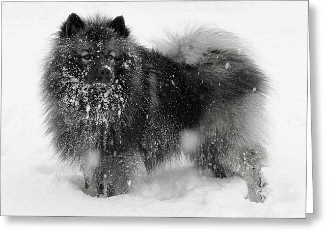 Black Fur Greeting Cards - Snow Covered Keeshond Greeting Card by H Bieser