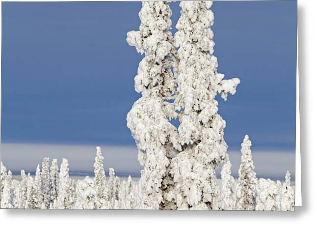 Snow Covered Spruce Trees Greeting Card by Tim Grams
