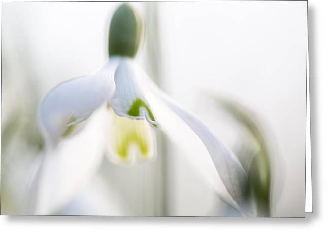 Snow Drops Early Spring White Wild Flower Macro Greeting Card by Dirk Ercken