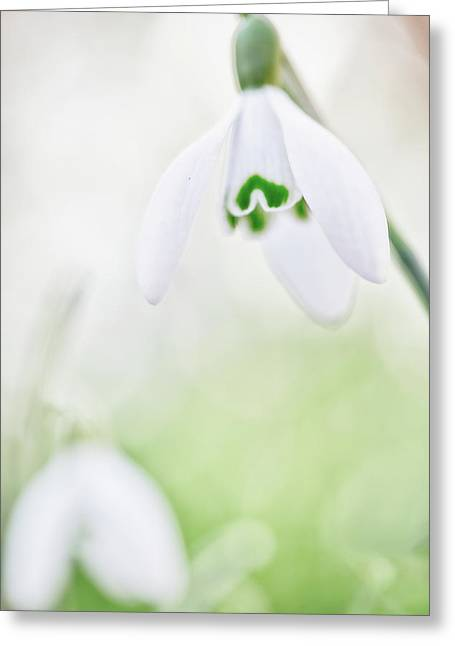 Snow Drops White Wildflower Greeting Card by Dirk Ercken