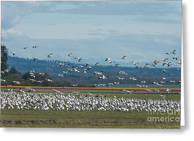 Spring Bulbs Greeting Cards - Snow Geese and Tulips Greeting Card by Louise Magno