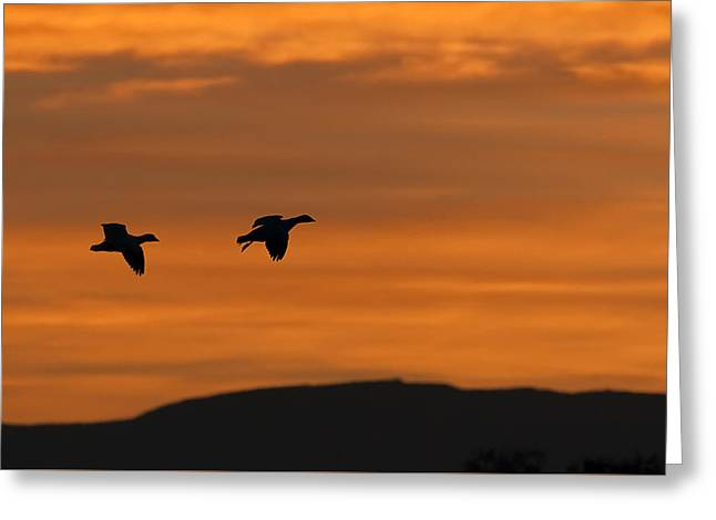 Snow Geese In Flight Greeting Cards - Snow Geese - Bosque del Apache Greeting Card by Sharon Norman