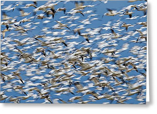Cooperation Greeting Cards - Snow Geese Greeting Card by Ed Book