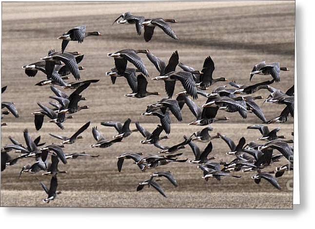Snow Geese In Flight Greeting Card by Bob Christopher