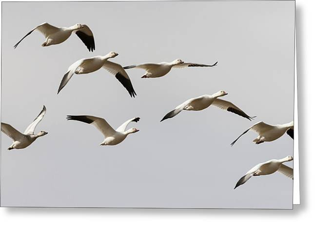 Snow Geese In Flight Greeting Card by Loree Johnson