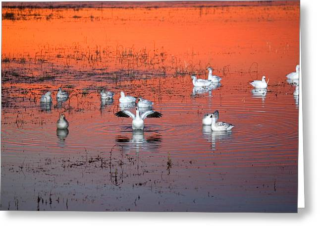 Wildlife Refuge. Greeting Cards - Snow Geese On Water Greeting Card by Panoramic Images