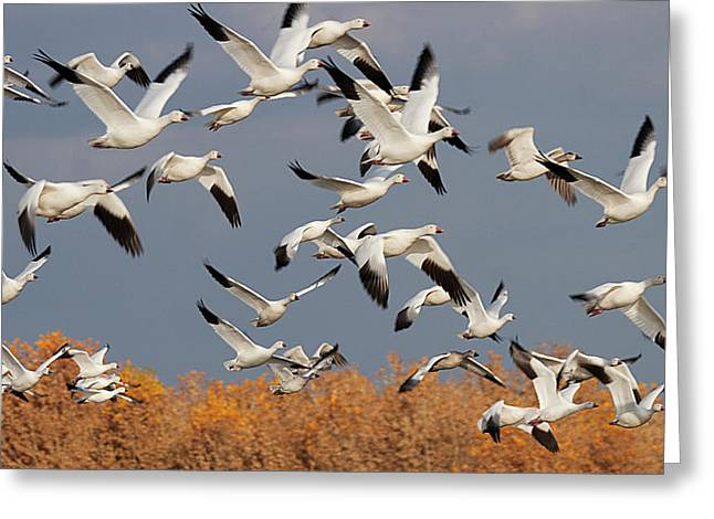 Flying Bird Greeting Cards - Snow Geese Take-off Greeting Card by Elvira Butler