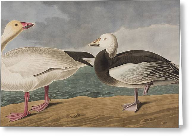 Snow Goose Greeting Card by John James Audubon