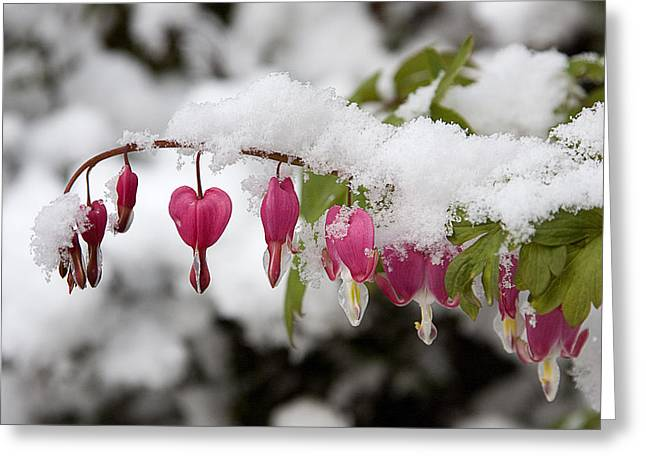 Snow Heart Greeting Card by Terry Walters
