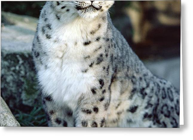 Snow Leopard Uncia Uncia Portrait Greeting Card by Gerry Ellis