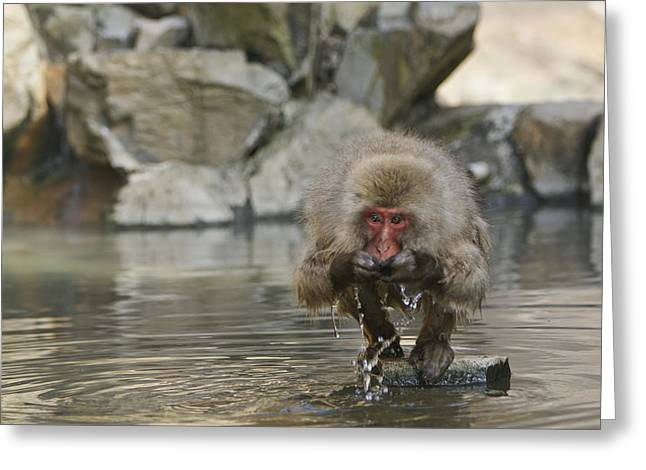 Temperature Greeting Cards - Snow Monkey Suprise Greeting Card by Brian Kamprath