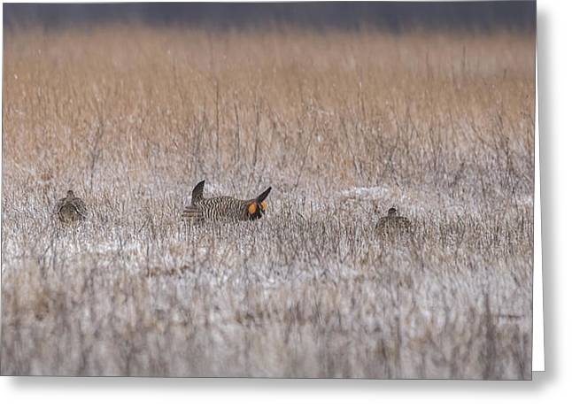 Prairie Chicken Greeting Cards - Snow On The Booming Grounds Greeting Card by Thomas Young