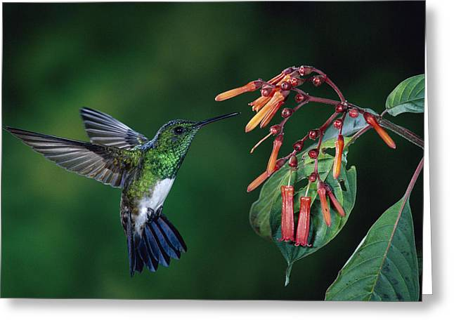Tropical Wildlife Greeting Cards - Snowy-Bellied Hummingbird Costa Rica Greeting Card by Michael and Patricia Fogden