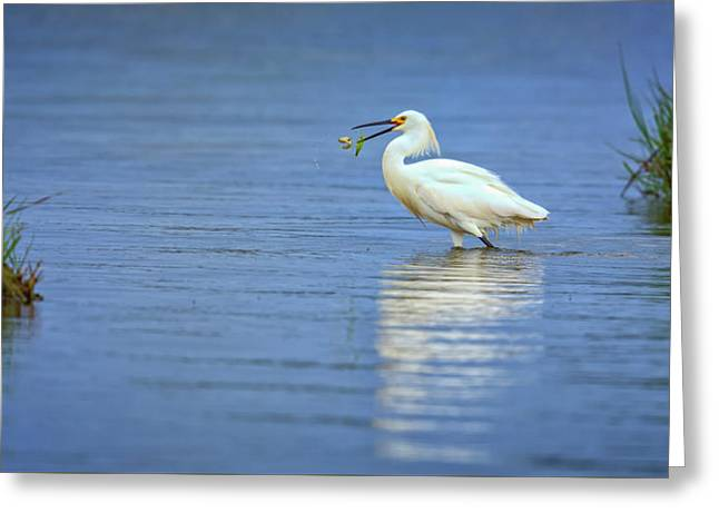 Snowy Egret At Dinner Greeting Card by Rick Berk