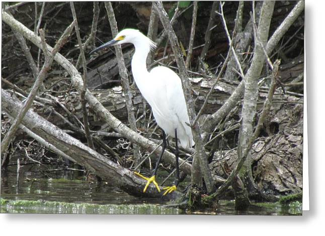 Hunting Bird Greeting Cards - Snowy Egret Greeting Card by Cobey Coles