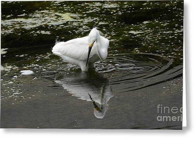 Alga Greeting Cards - Snowy Egret Fishing in Pond Greeting Card by Merrimon Crawford
