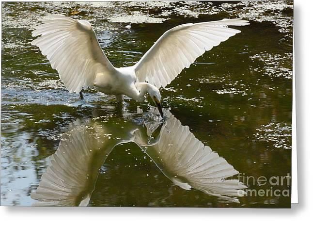 Alga Greeting Cards - Snowy Egret Fishing on Pond Greeting Card by Merrimon Crawford