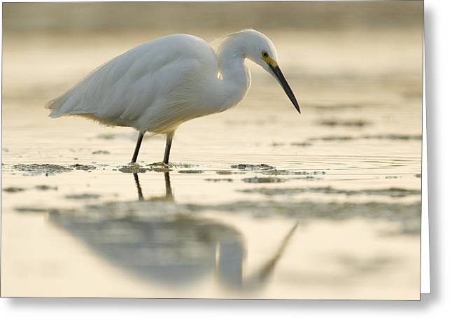 A Natural Bridge Greeting Cards - Snowy Egret Foraging Natural Bridges Greeting Card by Sebastian Kennerknecht