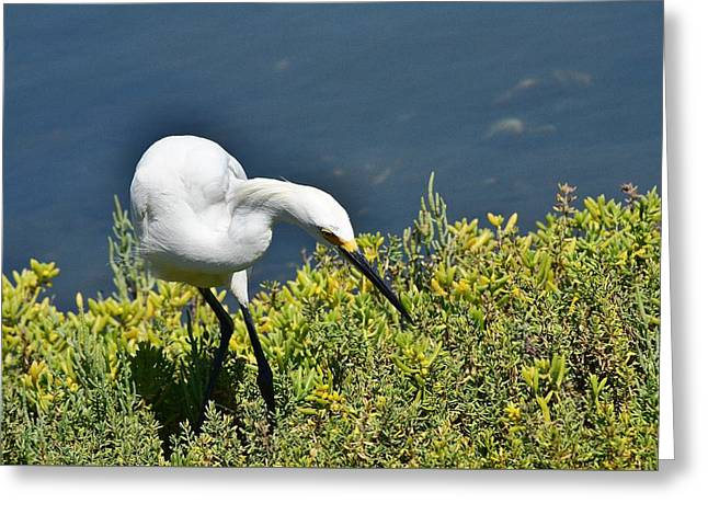 Wildlife Refuge. Greeting Cards - Snowy Egret I Greeting Card by Linda Brody