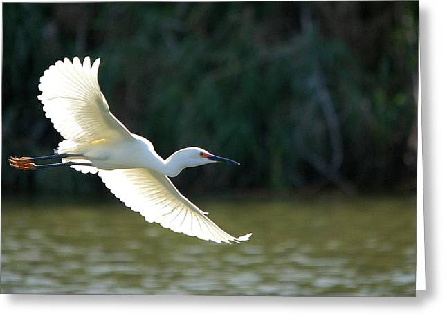 Hunting Bird Greeting Cards - Snowy Egret In Flight Over The Lake Greeting Card by Roy Williams