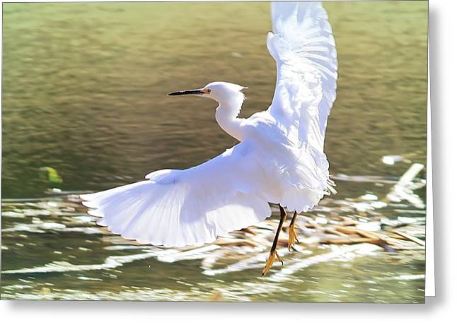 Florida Pond Greeting Cards - Snowy Egret over Golden Pond Greeting Card by Carol Groenen
