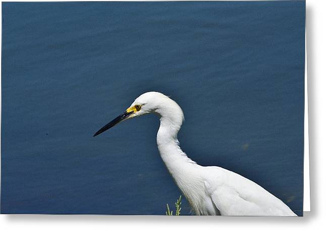 Wildlife Refuge. Greeting Cards - Snowy Egret Portrait Greeting Card by Linda Brody