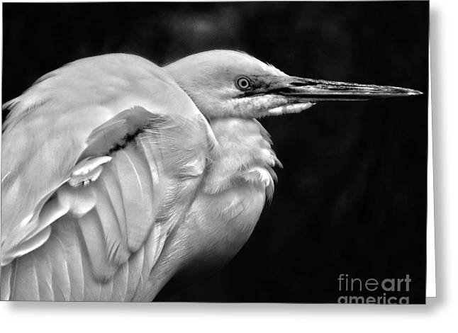 Zoology Greeting Cards - Snowy Egrets Black and White Greeting Card by Dawn Gari