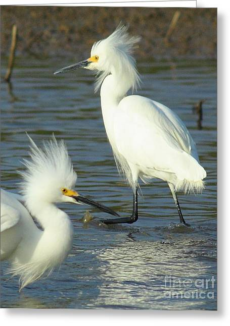 Wade Fishing Greeting Cards - Snowy Egrets Greeting Card by Robert Frederick